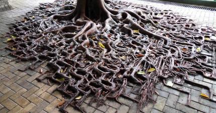 這10顆樹完全戰勝了人行道。大自然最終一定會勝利,這就是證明。