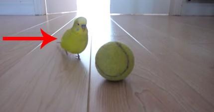 你不會相信一隻鸚鵡可以做這樣的事情!他可能比我有才華呢...