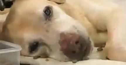 這隻服務犬為了殘障的主人奉獻一生,最後的遺言讓人完全淚崩...