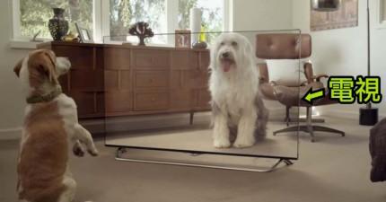放一台透明電視來惡整寵物們,他們的反應完全出乎意料的爆笑!