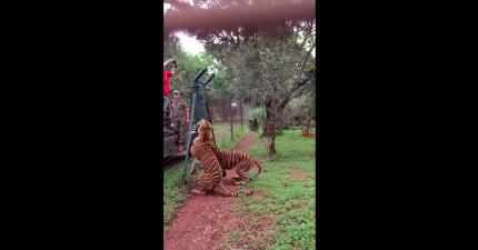 老虎慢動作接住肉的短片證明,我們對老虎的恐懼是正確的!