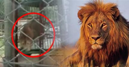 這頭13歲馬戲團獅子一輩子都沒有碰過草地,當他第一次體驗到時,他的行為會讓你感到很對不起他!