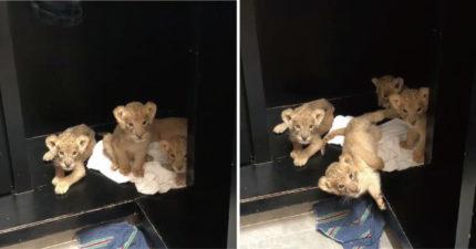 遇上愛聊天的小獅!超萌「寶寶撒嬌叫聲」讓大叔都融化了:好可愛❤