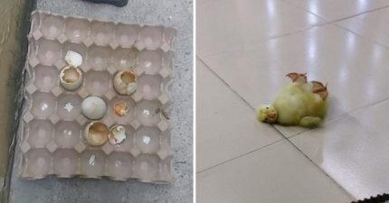 他買鴨仔蛋卻遇大熱天 2天後廚房多出「一窩小鴨」玩水畫面太萌了!