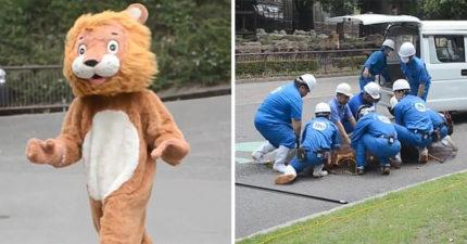 影/獅子逃跑了怎麽辦?動物園直接「變裝演習」制伏野獸 網看到「背後2大亮點」笑翻!