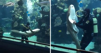 影/貓系鯊魚「傲嬌耍賴」潛水員翻肚討摸 加碼「更過分要求」爽完就走!
