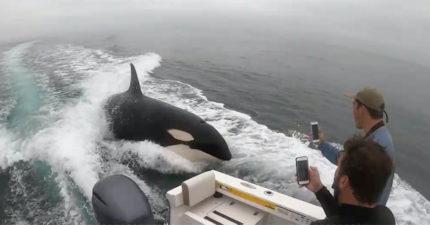 影/反差萌殺人鯨「表演慾」超強 看見漁船「直接追上去」翻肚討摸狂撒嬌!