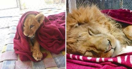 小萌獅「睡覺必備毯毯」絕不離身 背後原因「太令人心疼」:都是因為《獅子王》