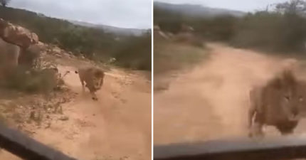 遊客「進獅子地盤」被發現 牠「緊追遊覽車」乘客嚇傻:差一點點