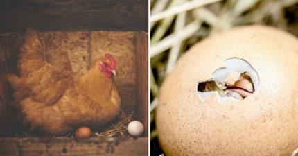 先有雞還是先有蛋?科學家從6.1億年前「籠脊球化石」找到答案!
