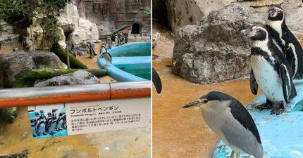 影/「假裝自己是企鵝的鷺」每天午餐溜進企鵝園蹭魚吃 員工無奈:牠知道自己長得像企鵝!