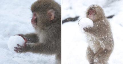 日本「超萌小猴玩雪照」網被萌翻 熟練小手「搓雪球」比人捏得還要圓!
