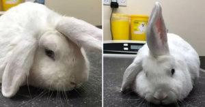 呆萌兔因「天生像獨角獸」爆紅 只要想打招呼...馬上「豎起單耳」超可愛!