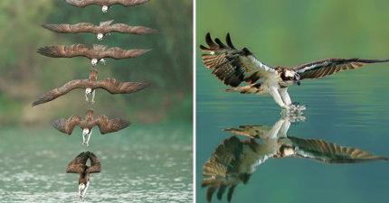 台灣攝影師拍出「魚鷹捕獵」完美定格照 猛禽「一箭雙雕」畫面超震撼!