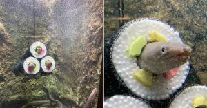 日水族館慶傳統把「水族箱→壽司捲」 呆萌鰻「一頭鑽進去」超配合!