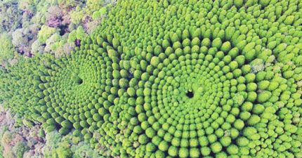 日本花50年「實驗種樹」成果嘆為觀止 網友超興奮:是龍貓種的!