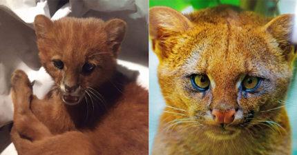 小女孩路邊撿回「孤兒橘貓」 養兩個月「長相變了」獸醫:快放生