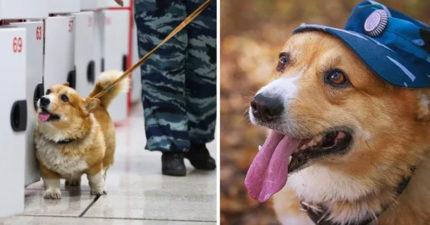唯一「柯基警犬」退休了!靠身形優勢「找地面贓物」辦案都像在賣萌