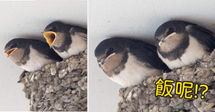 鳥媽「飛過家門」忘記餵晚餐 雛鳥「秒變不爽臉」全被攝影師拍到