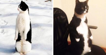 30隻「比較想當企鵝」的貓皇 3隻「立正貓咪」同步動作太違和!