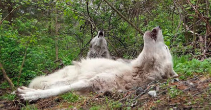 影/史上最懶的狼!聽到「同伴呼喚」還「睡著嚎叫」廢到爆紅