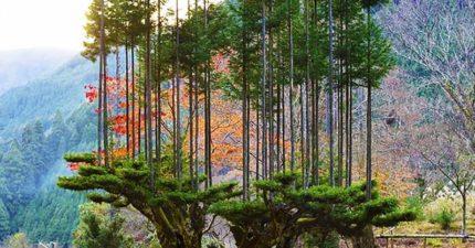 用兩棵樹「長出整片森林」 14世紀都靠這招「無限伐木」!