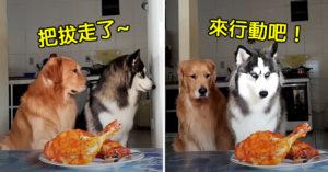 影/主人說不能吃!毛孩「犯案現場」讓網笑翻:哈士奇不意外!