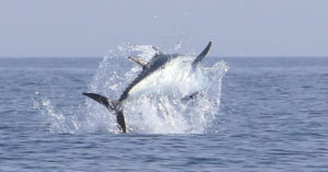划船驚見「世界最貴魚種」跳出海面 市場價...一棟房還有找!