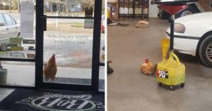 公雞「夢想當黑手」闖修車廠強制錄用 默默監工:啥時放飯?