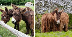 超萌長髮驢曾是「全國最壯驢種」...現在全球僅存500隻!