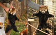 飼養員「手提小貓熊」畫面瘋傳 「超萌背影」像偷吃被抓包