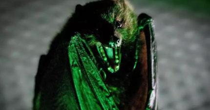 人類該學一下!最新研究:蝙蝠生病會「自主隔離」