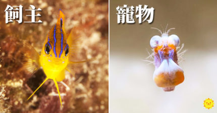 聰明魚被發現「偷養一堆蝦」 讓小弟「幫忙種田」當保護費:你們我全罩了!