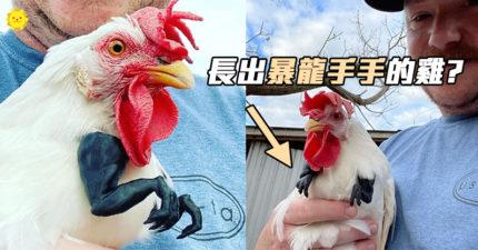 雞長出了「暴龍小手手」?少年雞跟上風潮...走起路氣勢爆表!