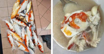家裡「寵物錦鯉缺氧全掛了」 女主人怕浪費「煮成魚湯」