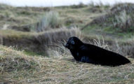 上帝忘記著色?極稀有「黑化海豹」出沒 他拍下「OREO配色」像新種寶可夢
