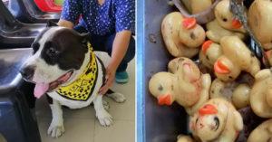 貪吃狗誤吞「塑膠小鴨」緊急開刀 獸醫剖開肚子嚇壞:有32隻