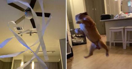 奴才「吊扇掛滿面紙」取悅貓皇 引來「鬥牛犬狂舞」連貓都無言XD