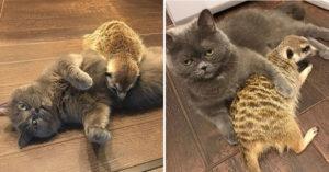 影/霸氣藍貓「收養小狐獴」變最萌兄弟檔 牠直接被徹底貓化!