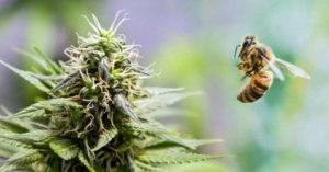 以色列公司發現「大麻可以拯救地球」開始研發大麻蜂蜜