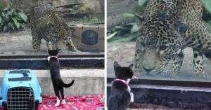 動物園開放讓「寵物探望猛獸」 狗狗跟獅子「害羞碰鼻」超萌❤