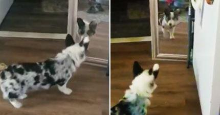 牠是誰!呆萌狗「照鏡嚇到倒彈」 狂檢查牆縫:不要再躲了~