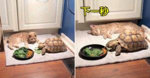 慢到沒朋友!橘貓等「烏龜吃完飯」一起去玩耍...等到睡著了