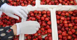 不只雪糕藏病毒 中國「進口櫻桃」發現新冠病毒:已流入市面