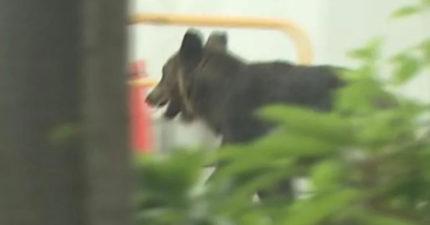 札幌驚現「熊與裸男」市區狂奔!4人無辜掛彩